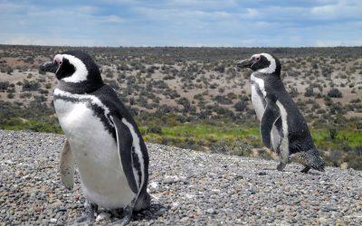 Magellan Pinguine II