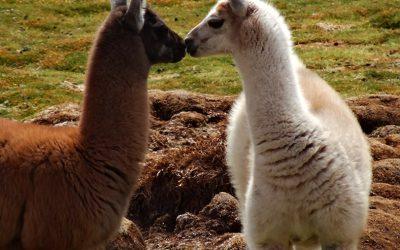 lamas in love