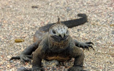 marine iguana I