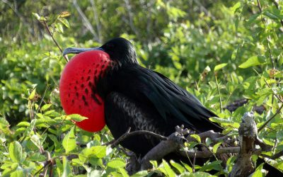 frigatebird with inflated pouch