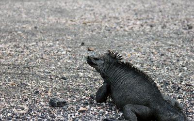 marine iguana II