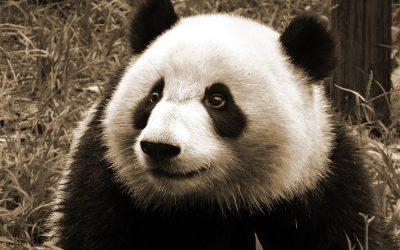 Panda Forschungs- und Aufzuchtstation Chengdu