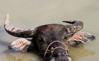 Ein Wasserbüffel beim Entspannen