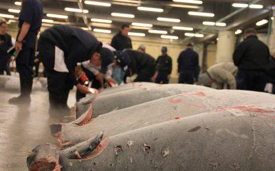 Thunfisch Auktion in Tskukiji