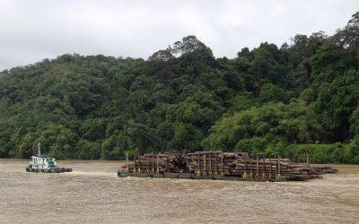 Holzfall am Rajang